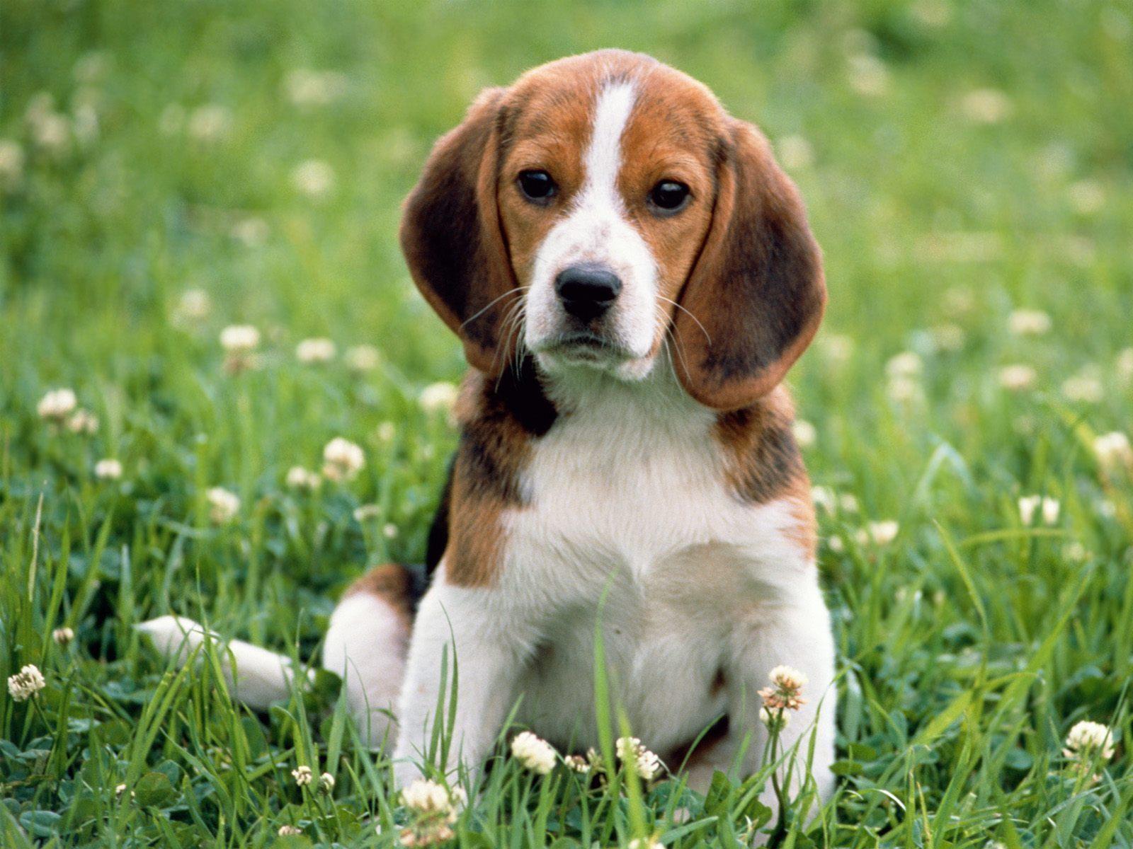 Beagle-4